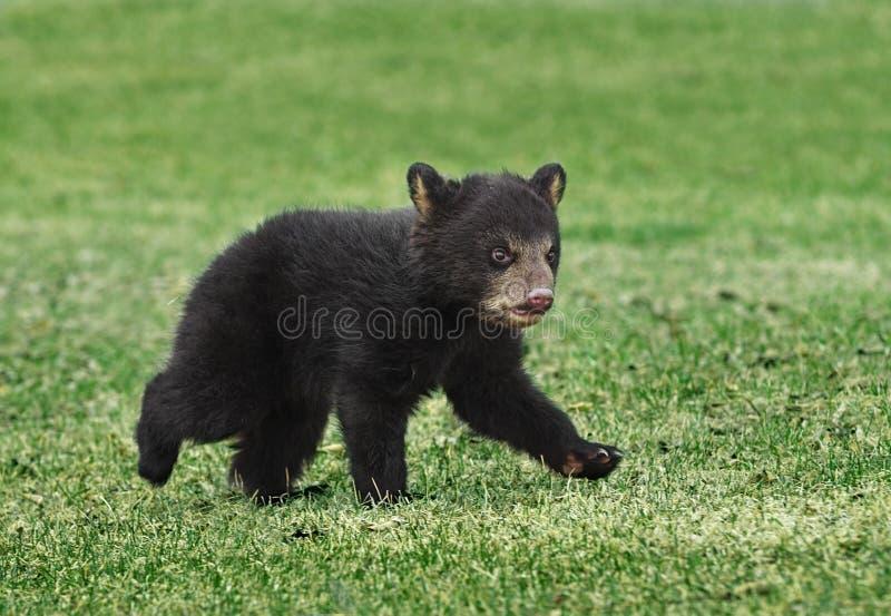 American Black Bear Cub Runs Across Grass stock images
