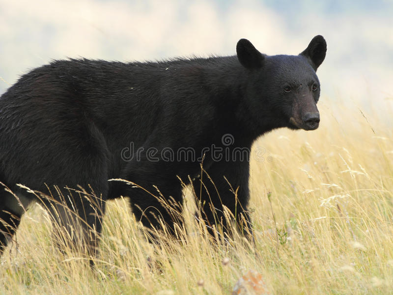 American Black Bear in a Meadow - Waterton Lakes National Park, stock photos