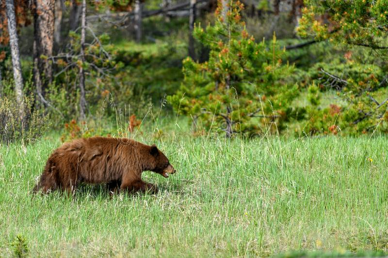 American black bear Ursus americanus grazing grass in the Banff National Park royalty free stock images