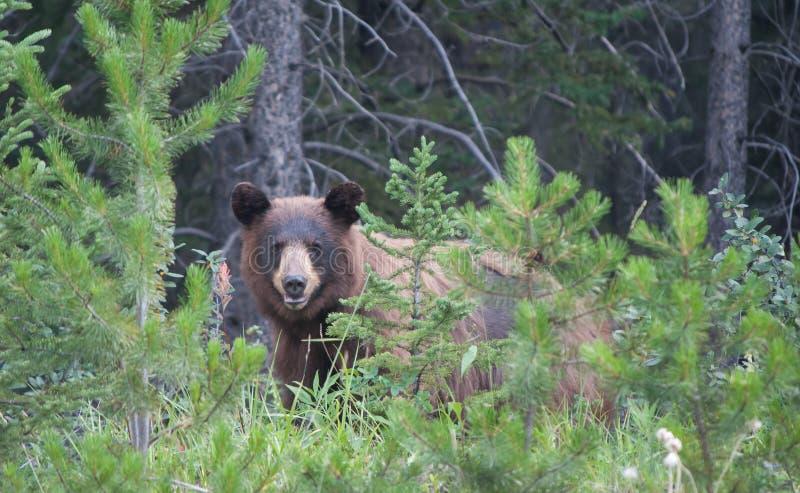 American Black Bear stock photography