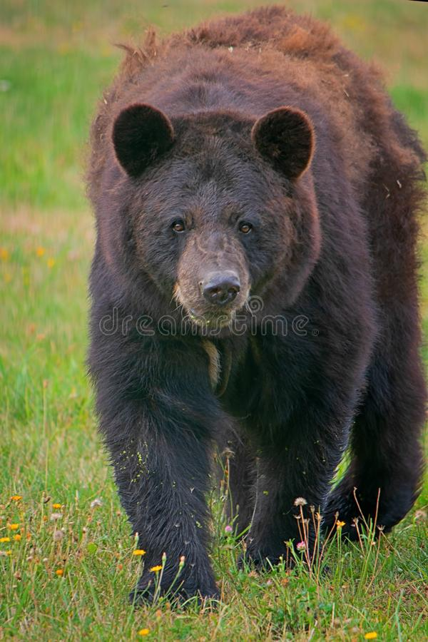 American black bear royalty free stock photography
