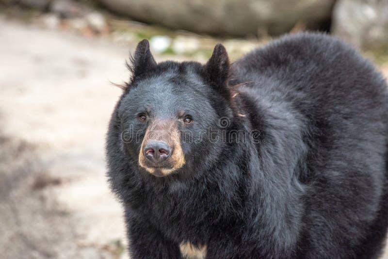 American black bear Ursus americanus. Wildlife animal stock photos