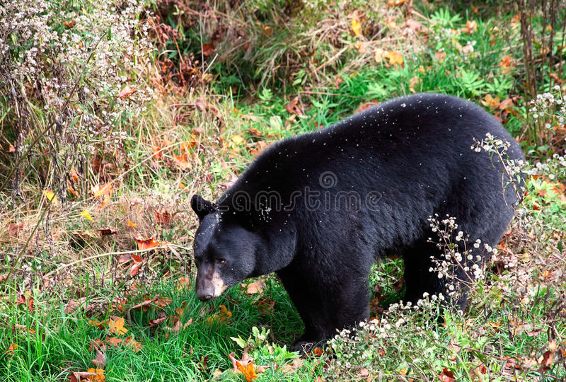 Download American Black Bear Walking Through Shrubs Stock Image - Image: 11321239