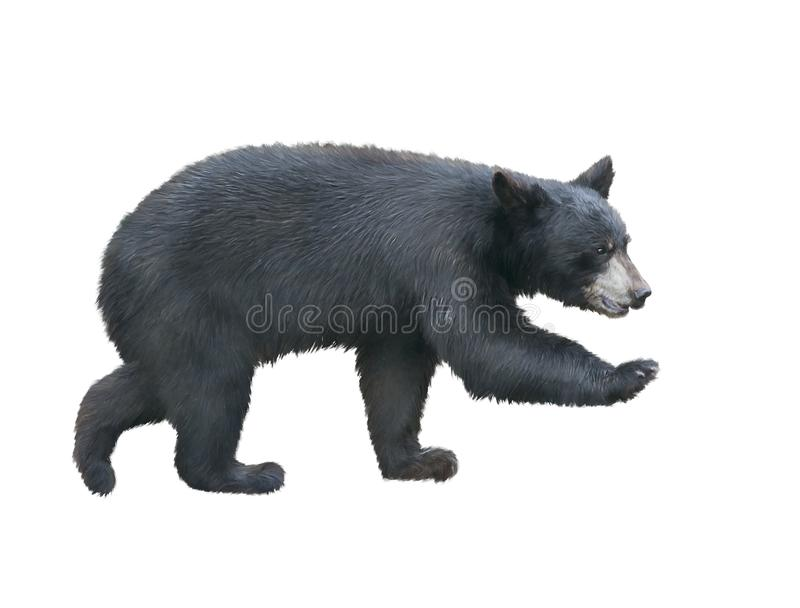 American Black Bear walking. Young American Black Bear walking , isolated on white background royalty free stock image