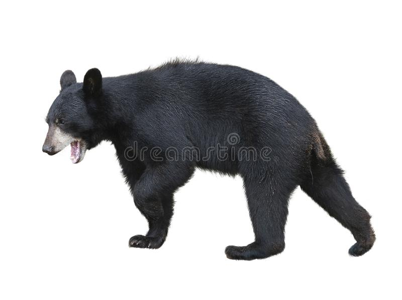 American Black Bear on white background royalty free stock photos