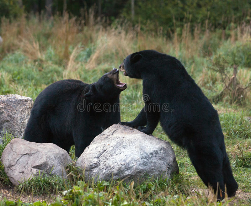 American Black Bears. Two American Black Bears sparring with one another. Late summer in northern Minnesota stock photo