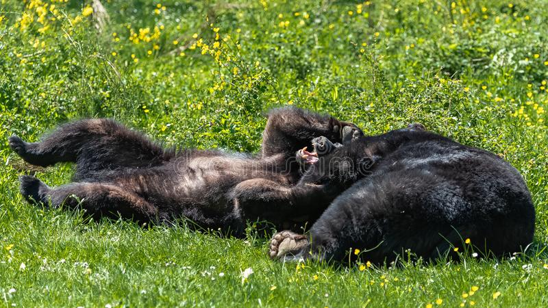 American black bears royalty free stock images