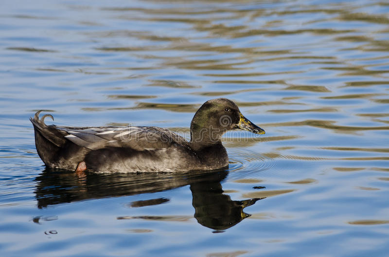 American Black Duck Swimming on the Blue Water stock images