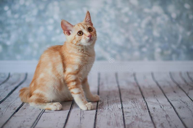 American bobtail cat stock image