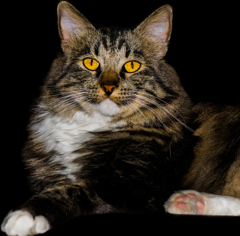 American Bobtail Mix Breed Cat With Stunning Yellow Eyes stock images