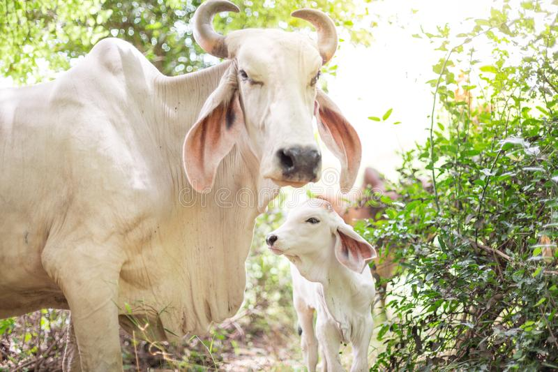 American Brahman cattle in abundant natural farms royalty free stock photos