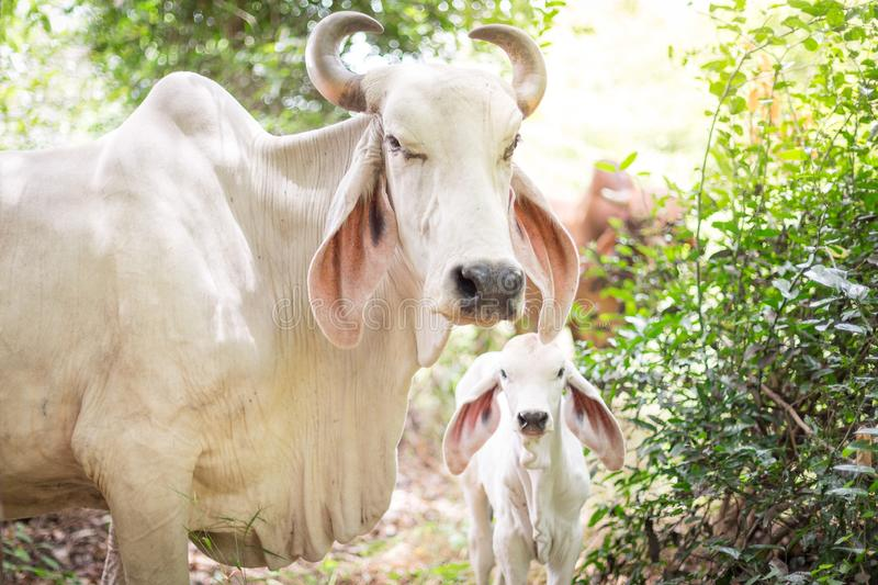 American Brahman  cattle in abundant natural farms. American Brahman cattle in abundant natural farms royalty free stock photos