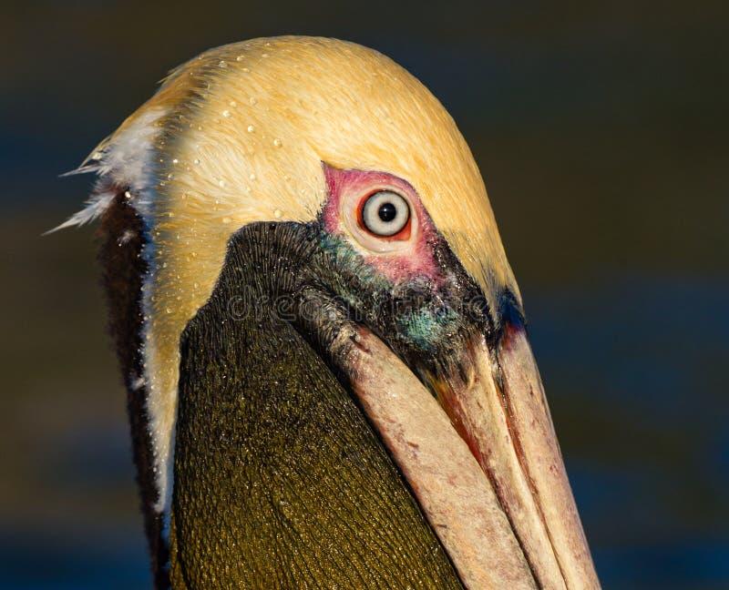 American brown pelican in breeding plumage royalty free stock photos