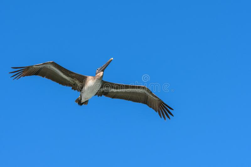 American Brown Pelican flying. Pelecanus occidentalis. Blue sky background. royalty free stock image