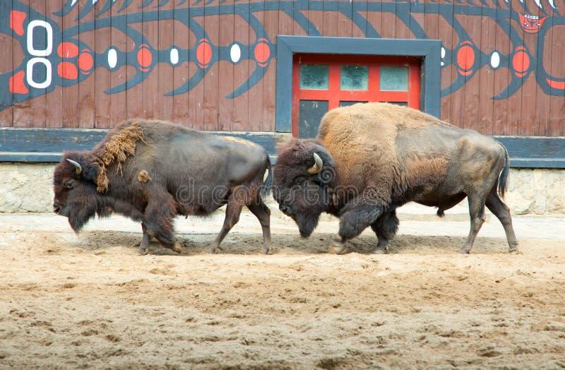 American buffalo stock photography
