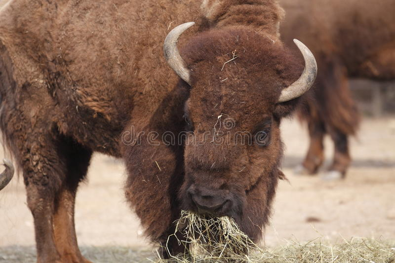 American buffalo. The american buffalo eating the hay royalty free stock images
