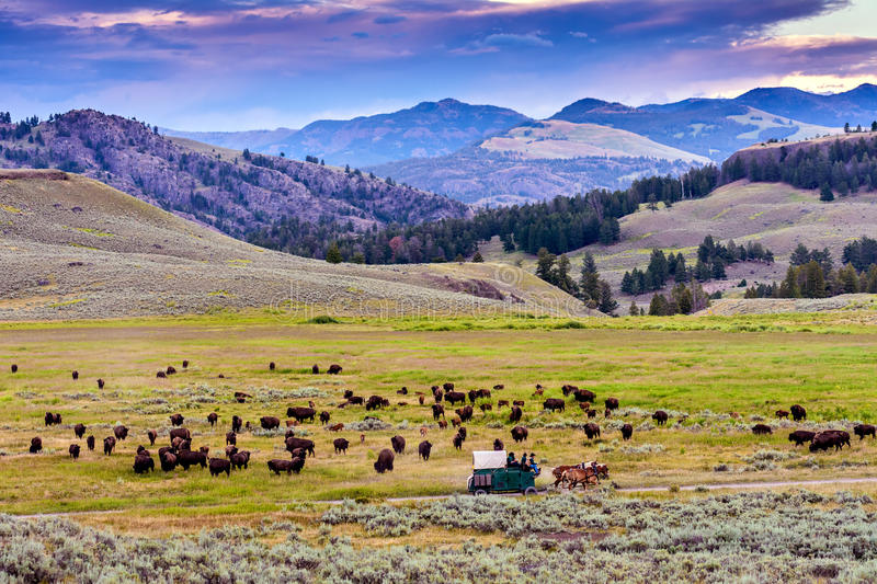 American Buffalo (Bison bison) In The Yellowstone. A Large Herd of American Buffalo (Bison bison) In The Yellowstone National Park, Wyoming, USA royalty free stock photo