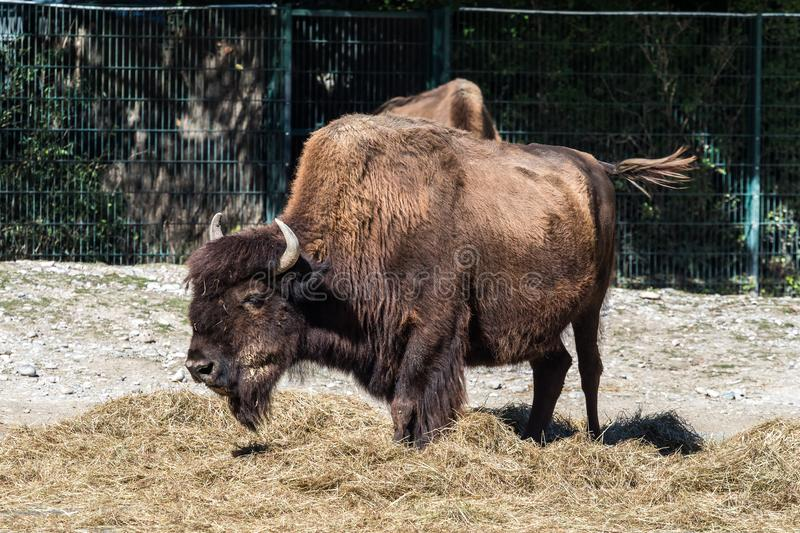 American buffalo known as bison, Bos bison in the zoo. The American bison or simply bison, also commonly known as the American buffalo or simply buffalo, is a royalty free stock photo