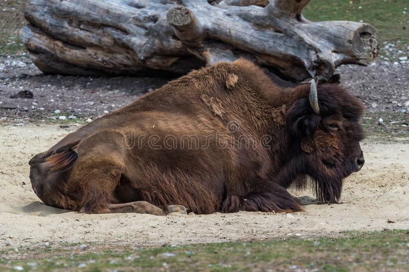 American buffalo known as bison, Bos bison in the zoo. The American bison or simply bison, also commonly known as the American buffalo or simply buffalo, is a stock images