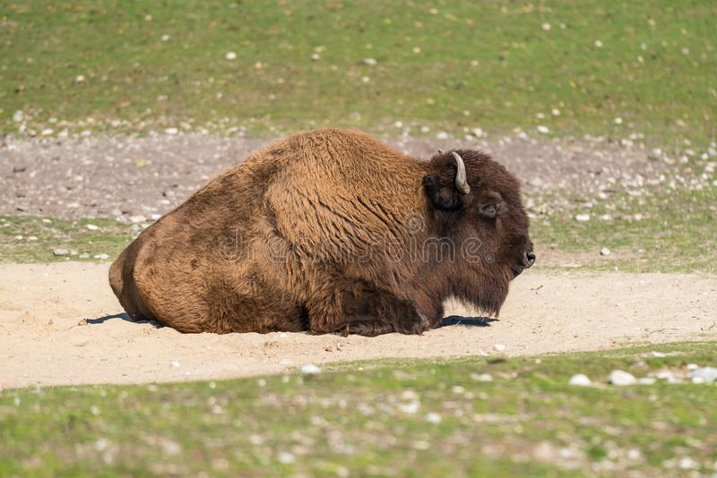 American buffalo known as bison, Bos bison in the zoo. The American bison or simply bison, also commonly known as the American buffalo or simply buffalo, is a royalty free stock images