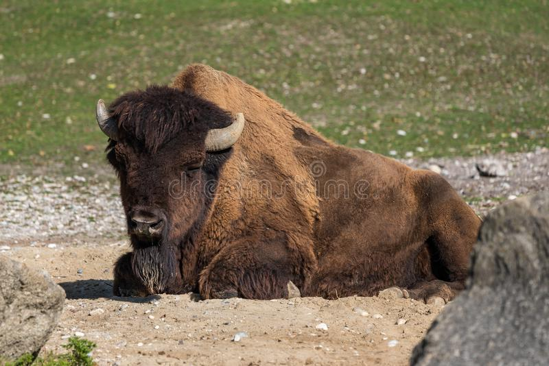 American buffalo known as bison, Bos bison in the zoo. The American bison or simply bison, also commonly known as the American buffalo or simply buffalo, is a stock photo