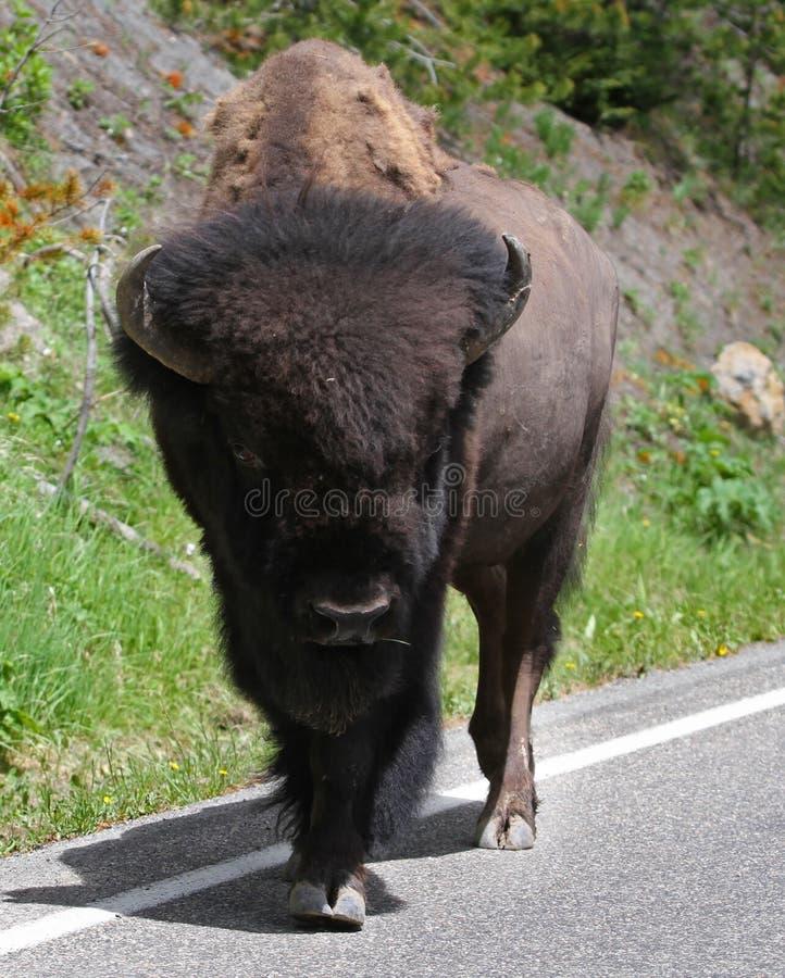 American Buffalo walking on Street in Closeup. Closeup of an American Buffalo on the street royalty free stock images
