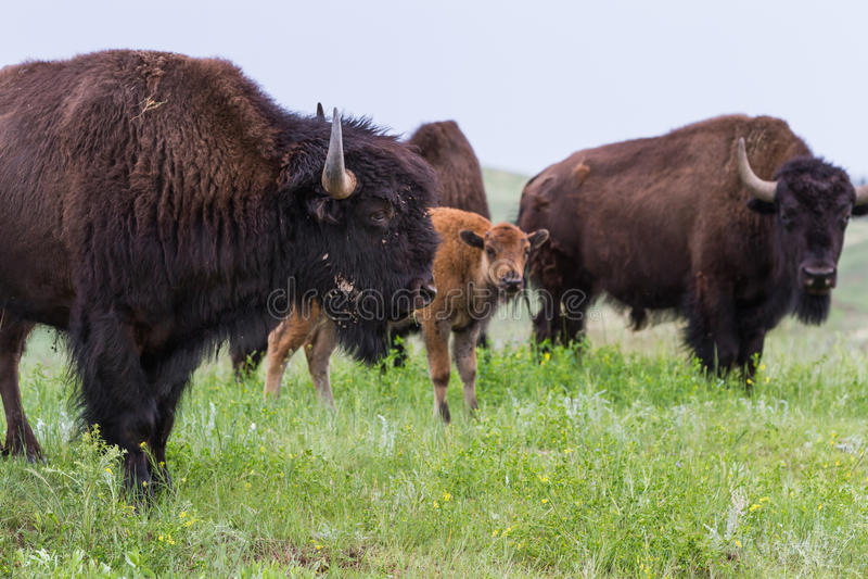 American Buffalo royalty free stock photos