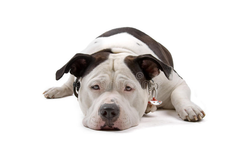 American bulldog royalty free stock photo