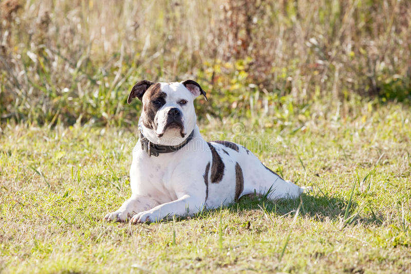 Download American bulldog stock photo. Image of strong, brown - 22179656