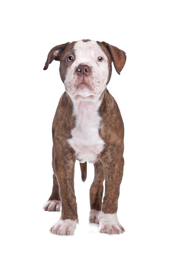 American Bulldog stock photos