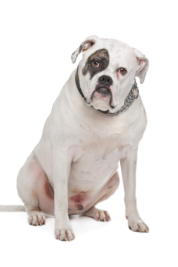 American Bulldog royalty free stock images