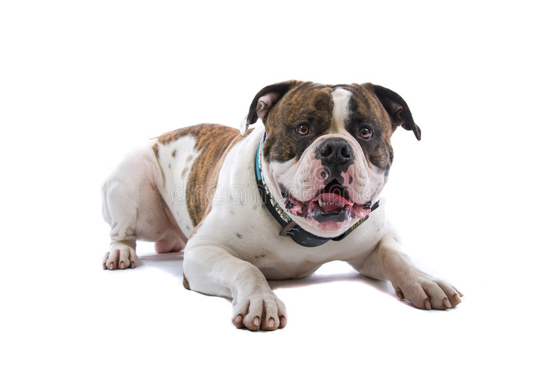 American Bulldog. An American Bulldog isolated on a white background royalty free stock photos