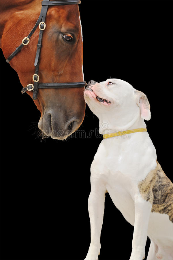 American bulldog and chestnut horse, isolated on black. Background stock images