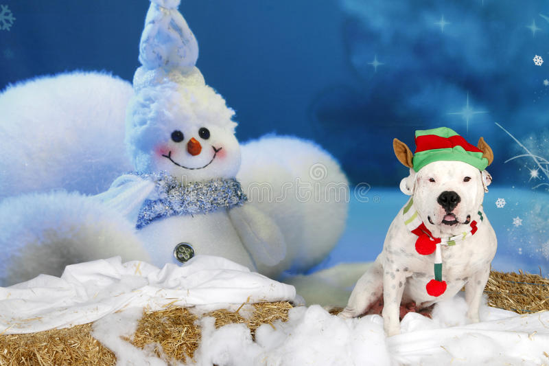 American Bulldog dressed as an elf. An American Bulldog dressed as an elf posed for his cute Holiday setting portrait stock image