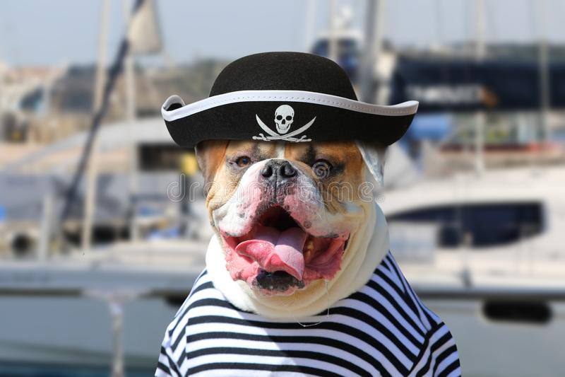 American Bulldog dressed in a pirate clothing. Portrait of American Bulldog dressed in a pirate clothing with tongue hanging out on the background of sea yacht royalty free stock photography