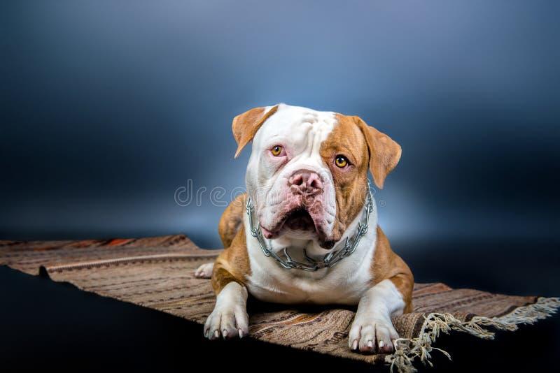 American Bulldog lying on carpet in studio stock photography
