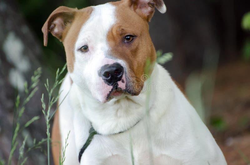 American Bulldog mixed breed dog. Walton County Animal Control, humane society adoption photo, outdoor pet photography stock image