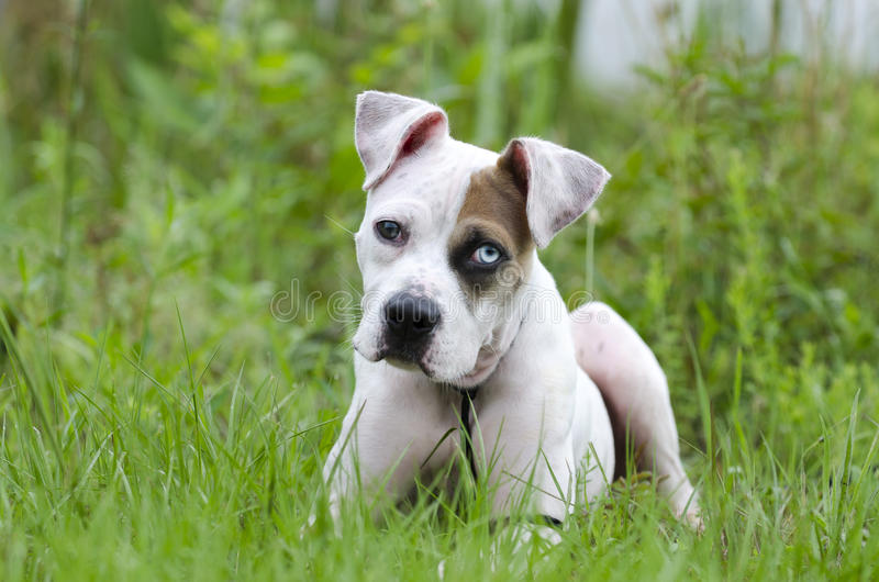 American Bulldog mixed breed puppy with blue eye royalty free stock photo