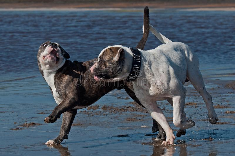 American Bulldog play fighting with a Old English royalty free stock images