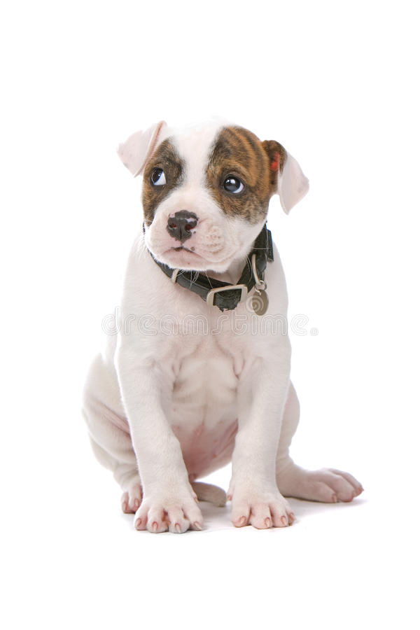 American bulldog puppy stock images