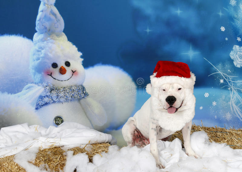American Bulldog in Santa Suit. An American Bulldog in a Santa Suit posed for his cute Holiday setting portrait stock photo