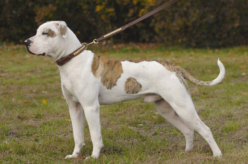 American bulldog standing stock image