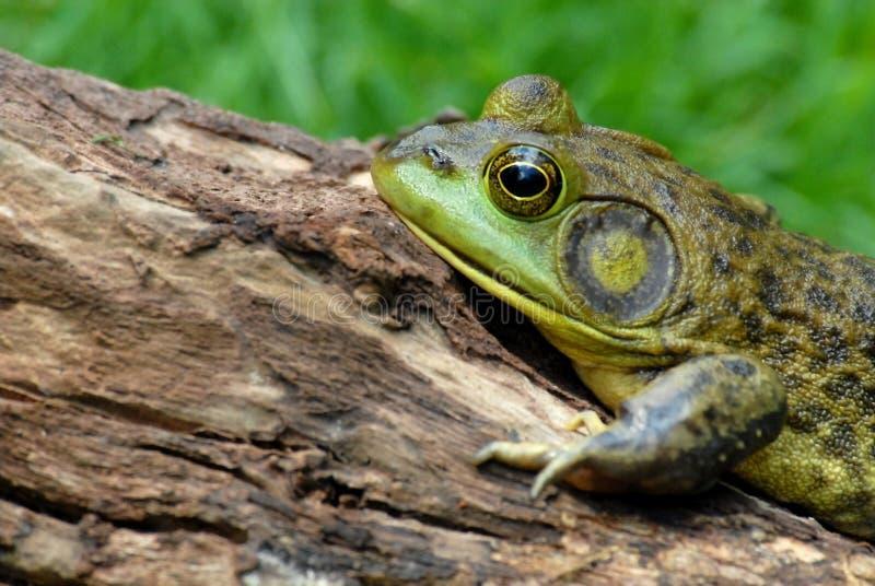 American Bullfrog royalty free stock photo