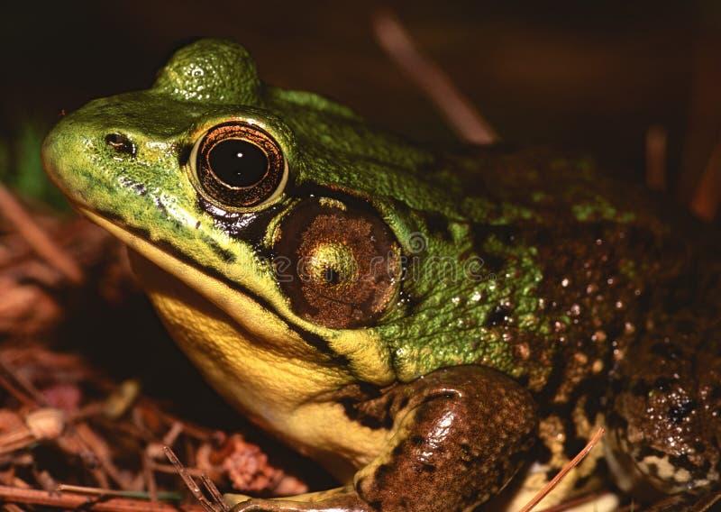 American Bullfrog. (Rana catesbeiana) sitting by pond stock image