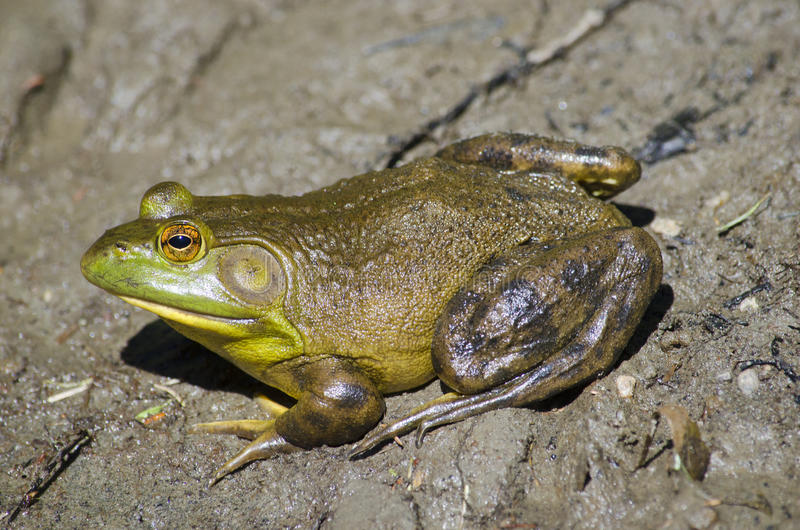American bullfrog stock photography