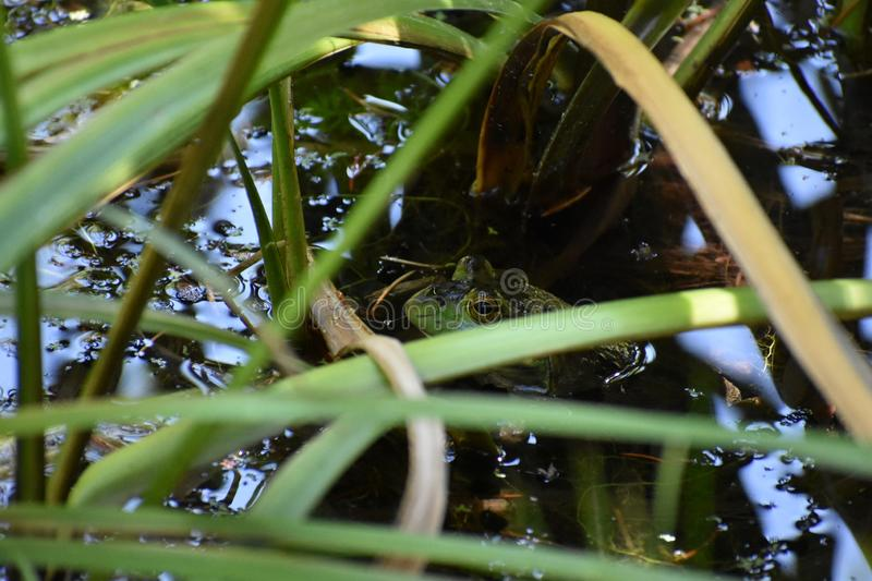 American Bullfrog Staying Cool in Narrowleaf Cattail royalty free stock image