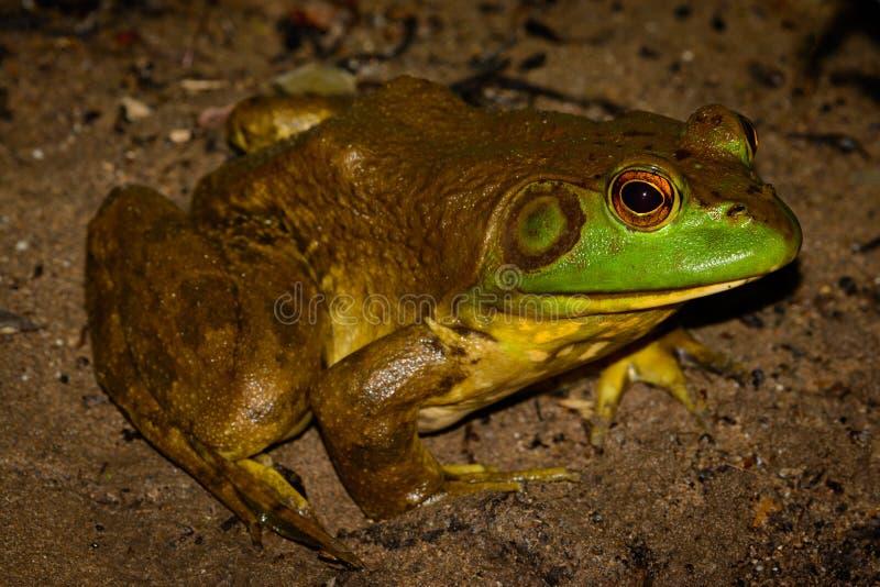 American bullfrog (Lithobates catesbeianus) full profile. With vivid eyes - male royalty free stock photo