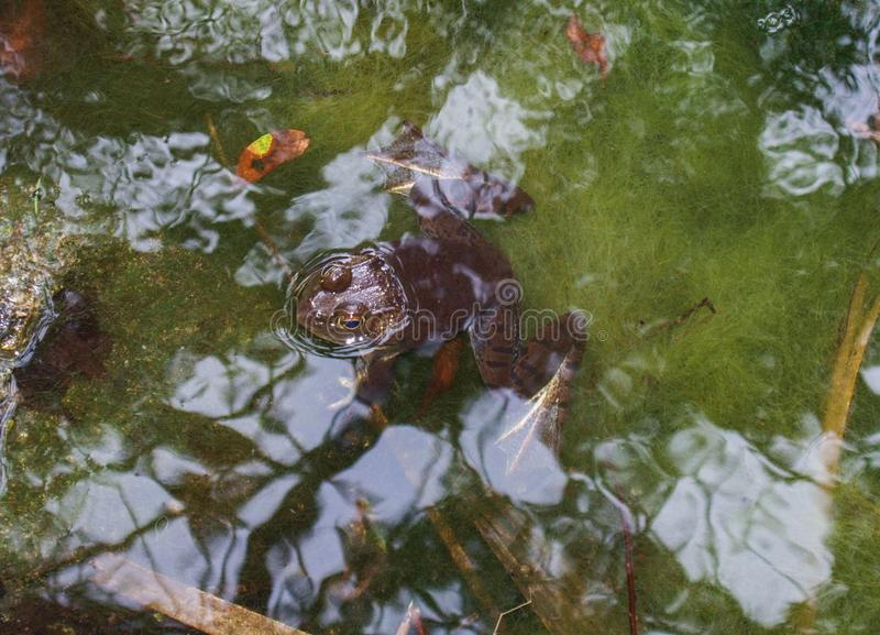American Bullfrog Floating in Swamp stock photos