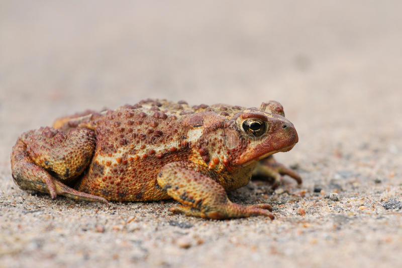 American Bullfrog. An American Bullfrog lounges in the sand and gravel royalty free stock image