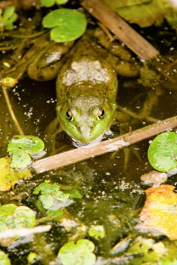 American bullfrog. Ready to ambush its prey royalty free stock images